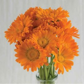 بذر گل همیشه بهار رقم Calypso