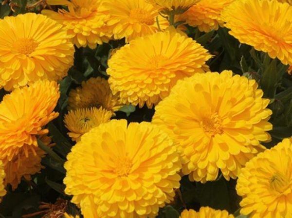 مزایای خرید بذر گل همیشه بهار از دمبرگ