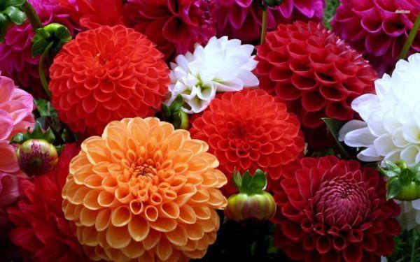 معرفی بذر گل کوکب رقم Symphony در 5 رنگ