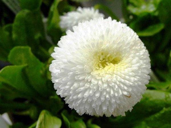 نحوه کاشت بذر مینا چمنی سفید رقم Stow white