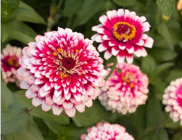 نحوه کاشت بذر گل آهار دو رنگ