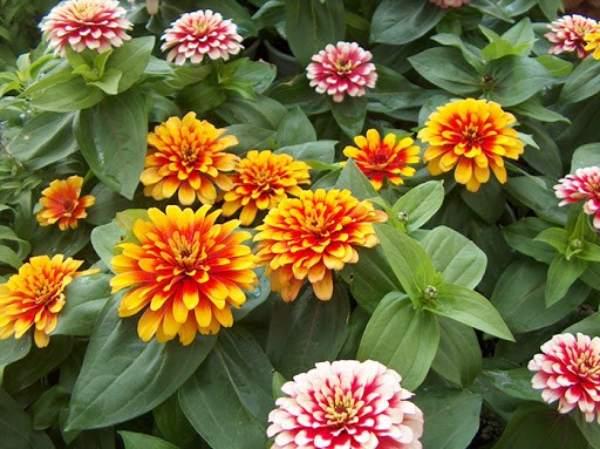 نحوه تشخیص بذر گل آهار دو رنگ مرغوب
