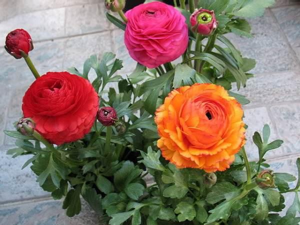فروش بذر گل آلاله میکس