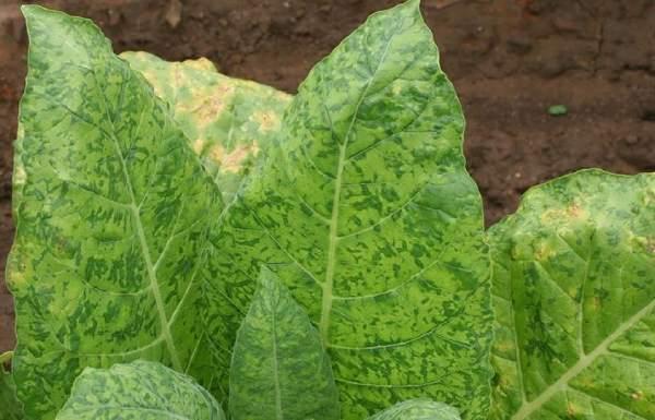 راه مبارزه با بیماری گیاهان آپارتمانی