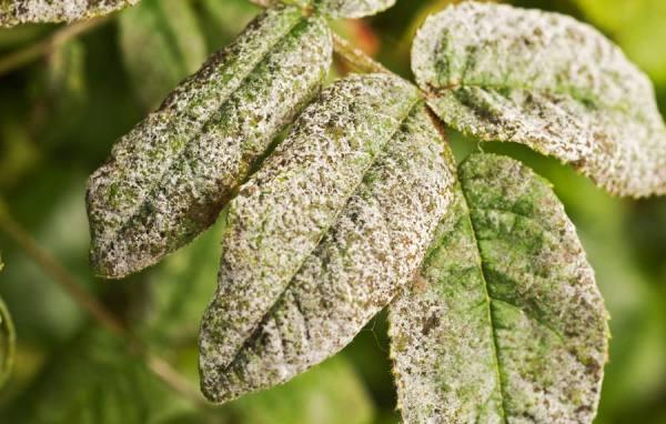 عامل و منشا بیماری گیاهان آپارتمانی