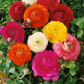 بذر گل آلاله