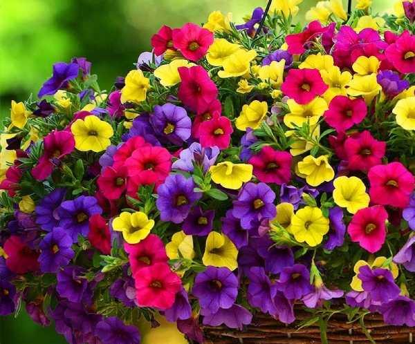 گل همیشه گلدار اطلسی