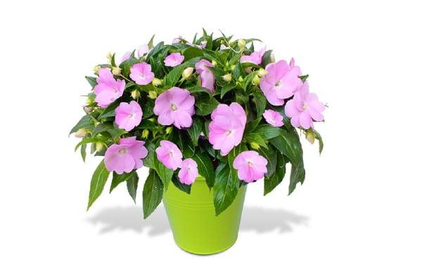 گیاه همیشه گلدار حنا باغچه ای