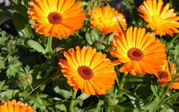 گل همیشه گلدار همیشه بهار