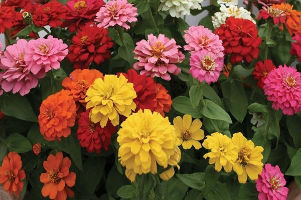 خرید بذر گل آهار