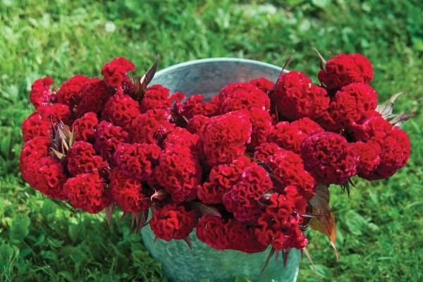 قیمت بذر گل تاج خروس