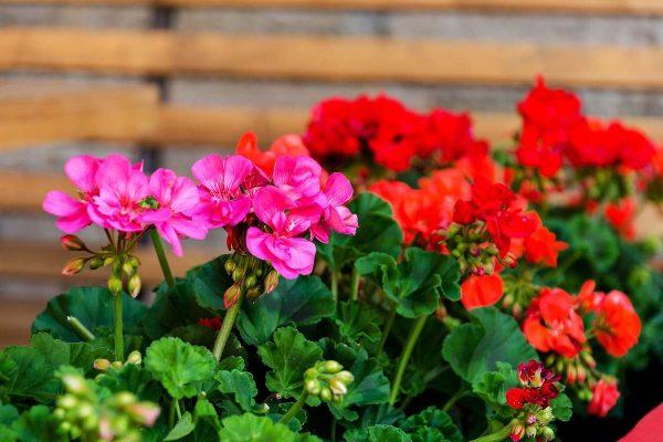 خرید بذر گل شمعدانی