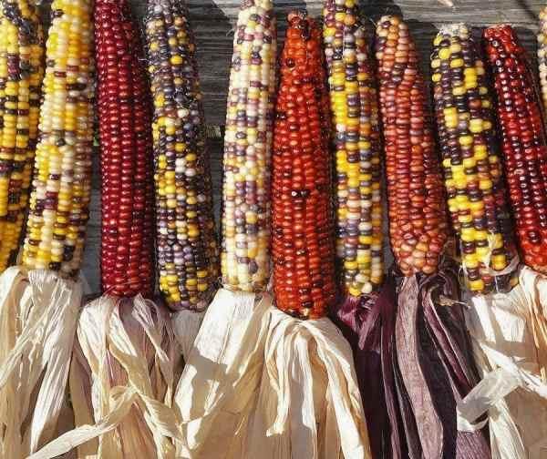 خرید بذر ذرت رنگی