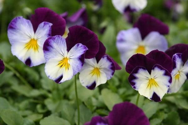 خرید بذر گل بنفشه