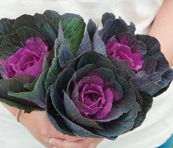 خرید بذر گل کلم زینتی