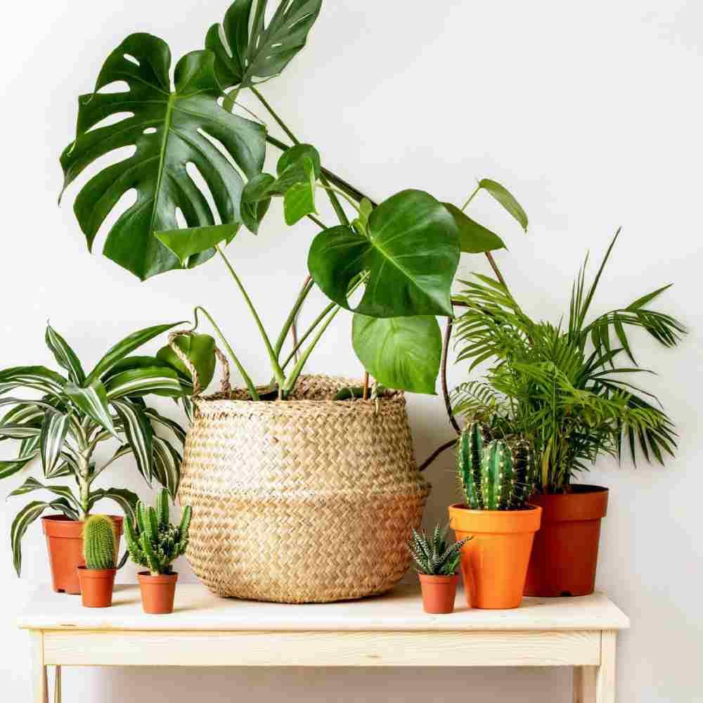 معرفی گیاهان زینتی همیشه سبز در خانه
