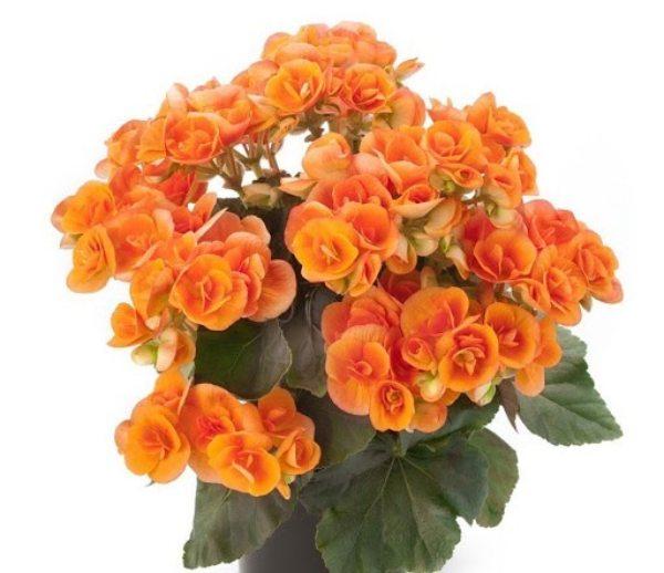قیمت بذر گل بگونیا عروس