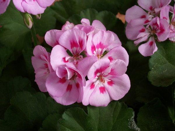 فروش بذر گل شمعدانی