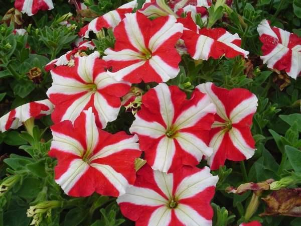 خرید بذر گل اطلسی