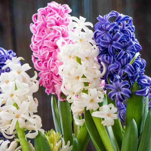 نگهداری پیاز گل سنبل برای سال بعد