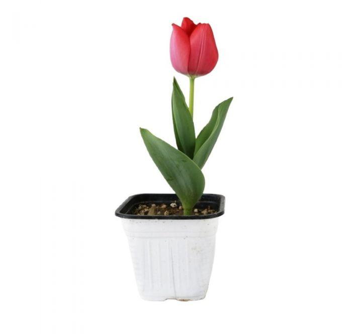 نگهداری پیاز گل لاله برای سال بعد