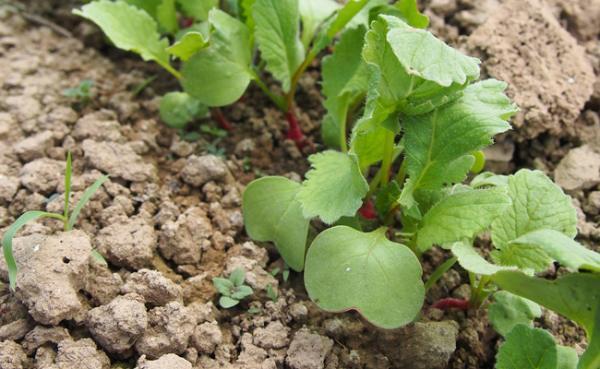 نحوه تشخیص بذر برگ تربچه مرغوب