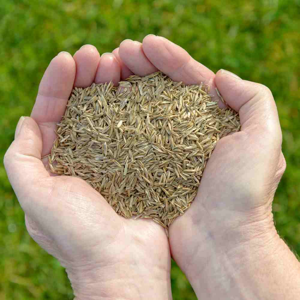 کاشت بذر چمن