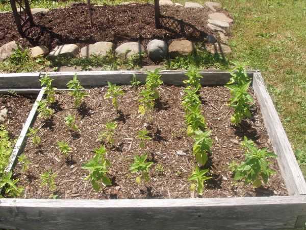کاشت و پرورش ریحان در باغچه
