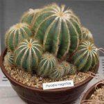 بذر پارودیا کاکتوس