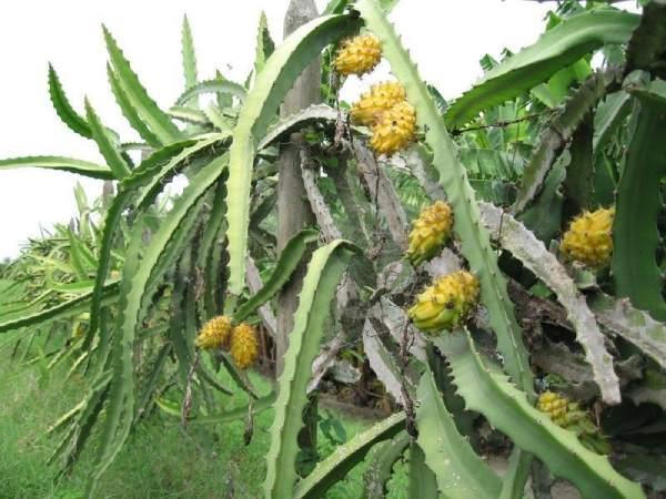 معرفی بذر دراگون فروت زرد