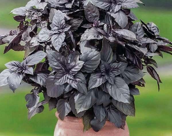خرید بذر ریحان سیاه