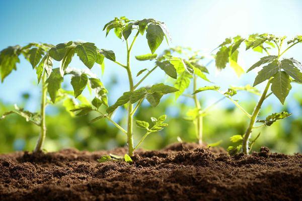 قیمت بذر گوجه فرنگی سبز درختی
