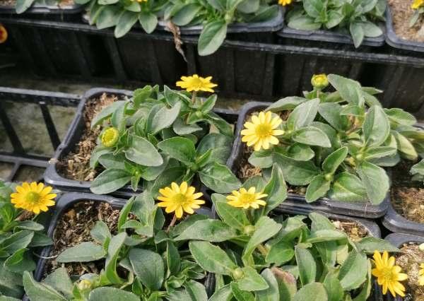 فروش بذر گل آهار رونده