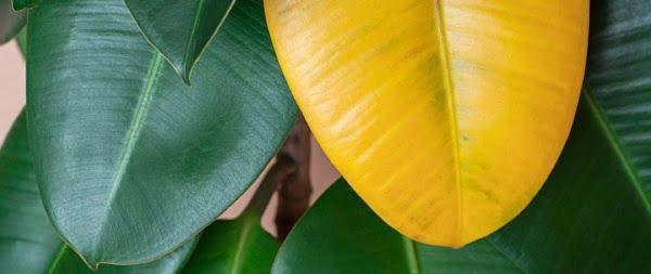 تنش رطوبت علت زرد شدن برگ گیاهان