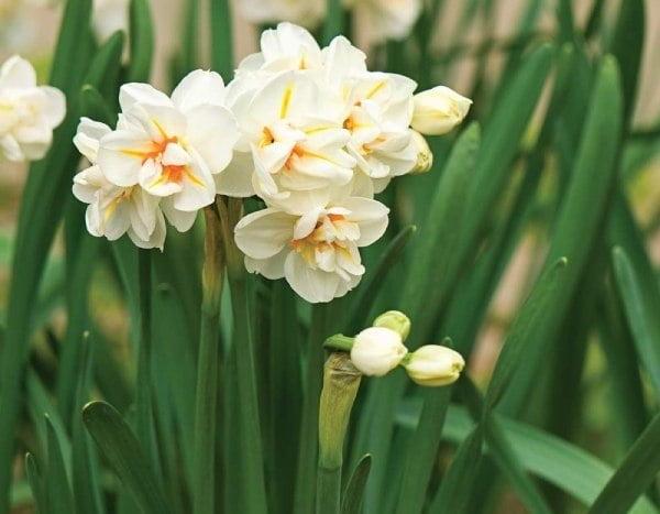 پیاز نرگس گل درشت معطر Churchill