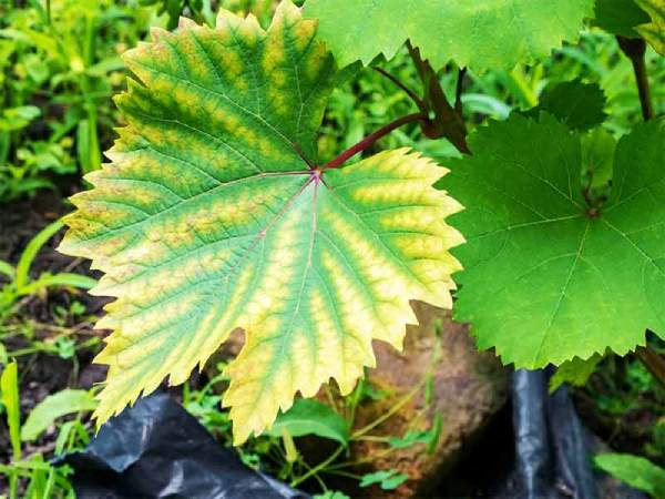 آب دهی خیلی کم علت زرد شدن برگ گیاهان