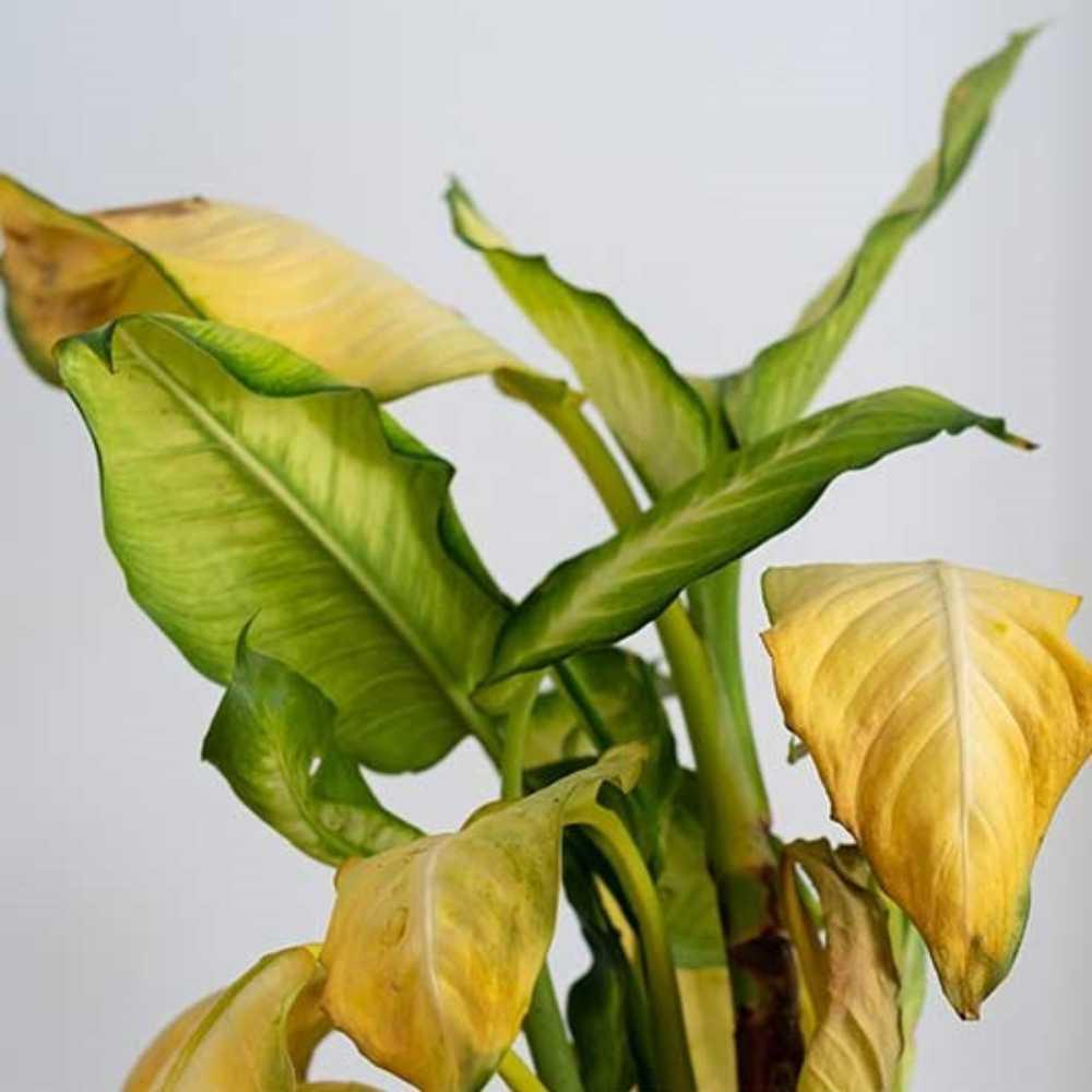 علت زرد شدن برگ گیاهان