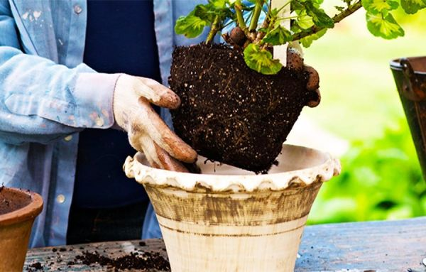 اصول و مراحل تعویض گلدان