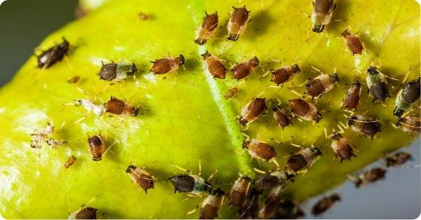 عفونت های ویروسی علت زرد شدن برگ گیاهان