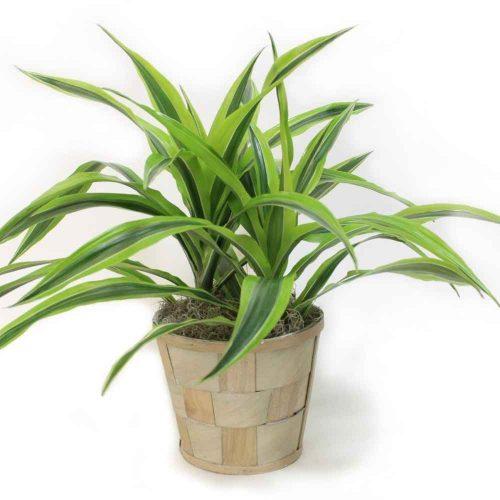 کاشت گیاه دراسنا
