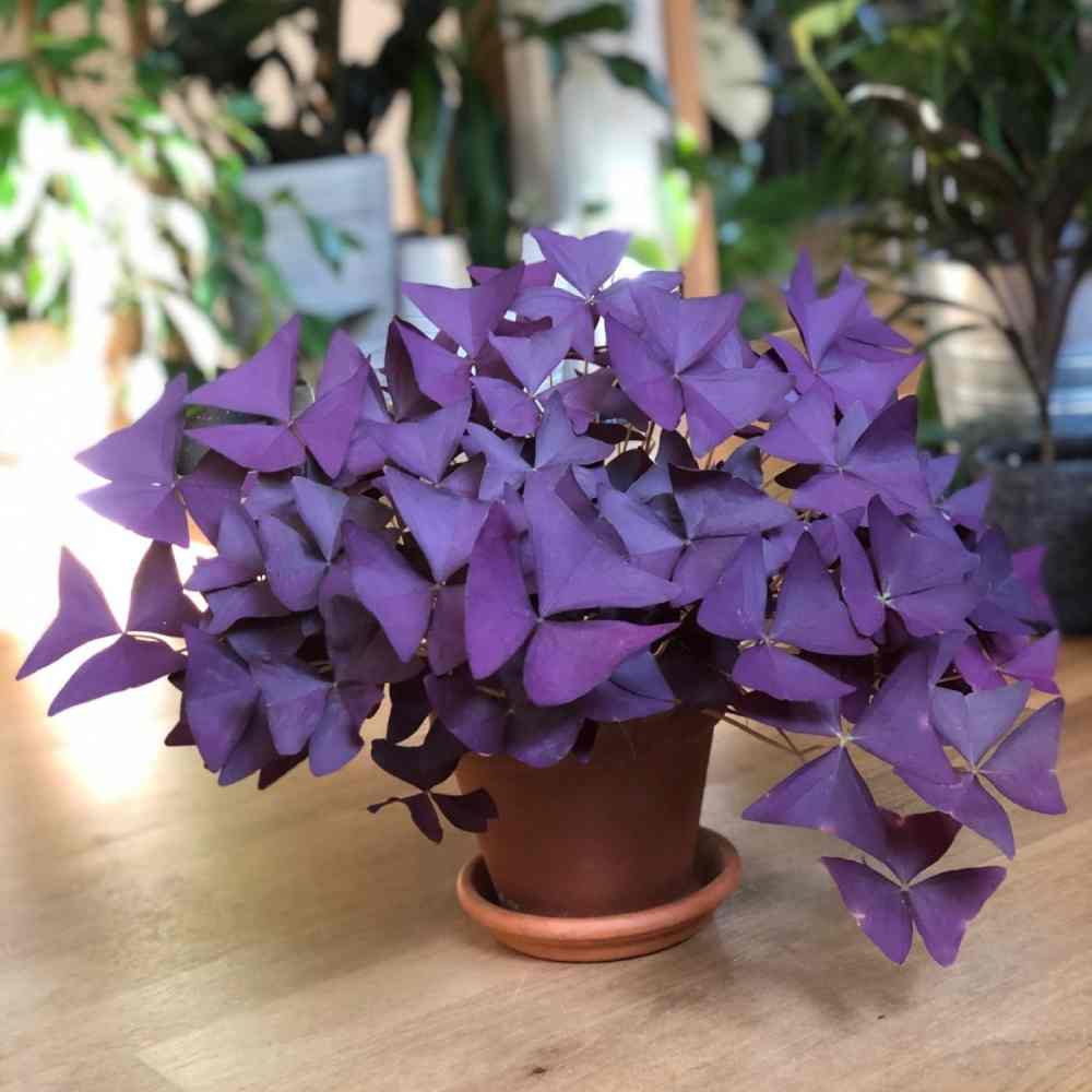 خرید پیاز گل اگزالیس