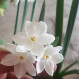 گلدهی پیاز گل نرگس کاغذی