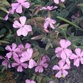 خرید بذر گل صابونی